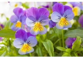 美丽的蝴蝶花