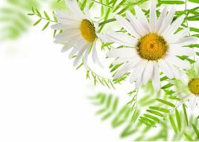 白色野菊花