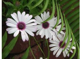 地球,雏菊,花,花,壁纸,(2)