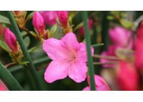 地球,杜鹃花,花,壁纸,(2)