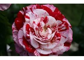 地球,薄荷,玫瑰,花,玫瑰,壁纸,(1)