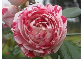 地球,薄荷,玫瑰,花,玫瑰,壁纸,(2)