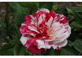 地球,薄荷,玫瑰,花,玫瑰,壁纸,