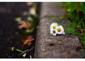 地球,雏菊,花,壁纸,(10)