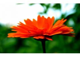 地球,大丁草,花,壁纸,(5)