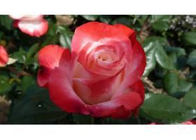 地球,玫瑰,花,壁纸,(56)