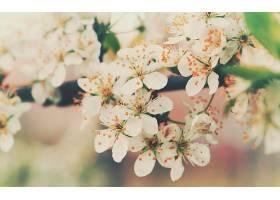 地球,花,花,自然,樱桃,花,花,树枝,白色,花,壁纸,图片