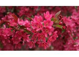 地球,花,花,自然,花,樱桃,花,粉红色,花,壁纸,图片