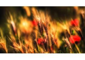地球,小麦,夏天,罂粟,壁纸,图片