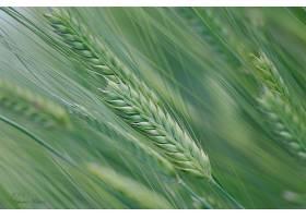 地球,小麦,巨,夏天,领域,自然,壁纸,图片