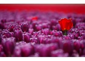 地球,郁金香,花,花,壁纸,(56)