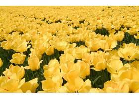 地球,郁金香,花,花,自然,领域,黄色,壁纸,图片
