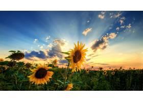 地球,向日葵,花,夏天,壁纸,图片
