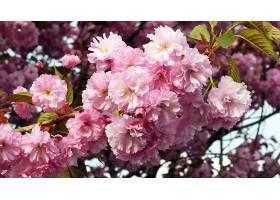 地球,花,花,樱桃,花,自然,花,粉红色,花,壁纸,图片