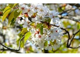 地球,花,花,樱桃,花,花,自然,白色,花,壁纸,图片