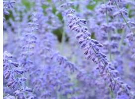 地球,花,花,淡紫色,夏天,紫罗兰,壁纸,图片