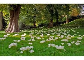 地球,藏红花,花,花,自然,树,公园,壁纸,图片