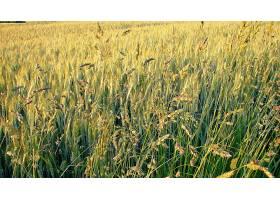 地球,小麦,自然,风景,摄影,壁纸,