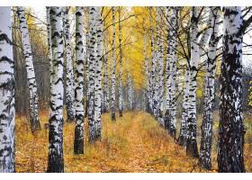 地球,桦树,秋天,自然,小路,森林,叶子,壁纸,图片