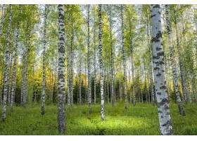 地球,桦树,自然,树,森林,壁纸,图片