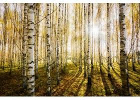 地球,桦树,自然,森林,阳光,壁纸,图片