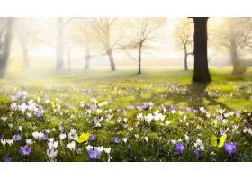 地球,藏红花,花,自然,雾,弹簧,花,白色,花,紫色,花,蝴蝶,壁纸,图片