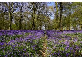 地球,贝尔弗劳尔,花,自然,小路,花,紫色,花,树,森林,壁纸,图片