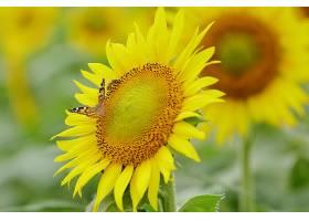 地球,向日葵,花,蝴蝶,花,夏天,黄色,花,特写镜头,壁纸,图片