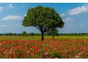 地球,领域,自然,草地,红色,花,花,粉红色,花,风景,树,罂粟,壁纸,图片