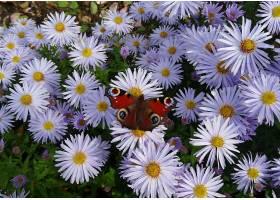 地球,菊花,花,自然,蝴蝶,白色,花,花,壁纸,图片