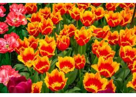 地球,郁金香,花,自然,花,橙色的,花,夏天,壁纸,(1)图片