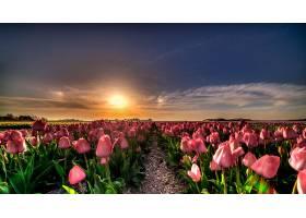 地球,郁金香,花,自然,花,领域,天空,粉红色,花,壁纸,图片