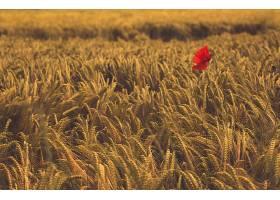 地球,小麦,自然,夏天,领域,红色,花,罂粟,壁纸,图片