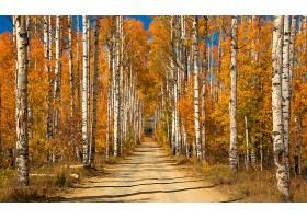 地球,小路,自然,森林,泥土,路,树,桦树,壁纸,图片