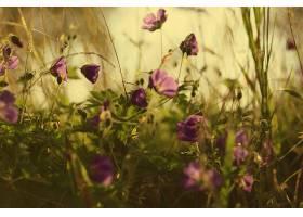 天竺葵,花,自然,花,粉红色,花,壁纸,图片