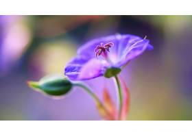 天竺葵,花,自然,花,紫色,花,巨,壁纸,图片