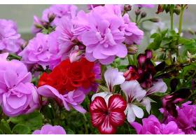 天竺葵,花,自然,花,紫色,花,红色,花,壁纸,图片