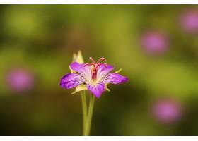 天竺葵,花,花,紫色,花,自然,污迹,壁纸,图片