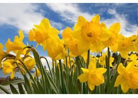 水仙花,花,花,黄色,花,壁纸,(4)图片