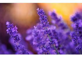 地球,淡紫色,花,自然,花,紫色,花,污迹,壁纸,(1)