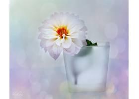 地球,大丽花,花,花,杯子,白色,花,壁纸,