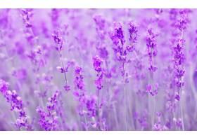 地球,淡紫色,花,花,特写镜头,紫色,花,壁纸,(1)