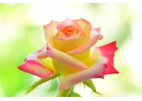 地球,玫瑰,花,花,壁纸,(11)图片