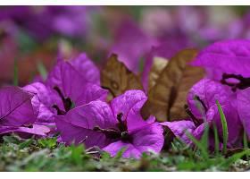 地球,布干维尔a,花,自然,Bokeh,花,紫色,花,壁纸,图片