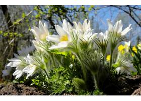地球,海葵,花,弹簧,花,自然,白色,花,特写镜头,壁纸,图片