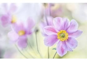 地球,海葵,花,特写镜头,花,粉红色,花,壁纸,图片