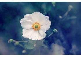 地球,海葵,花,白色,花,自然,壁纸,图片