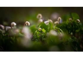 地球,海葵,花,自然,特写镜头,白色,花,壁纸,图片