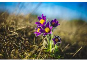 地球,海葵,花,自然,特写镜头,花,污迹,紫色,花,壁纸,图片
