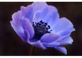 地球,海葵,花,自然,紫色,花,花,特写镜头,壁纸,图片